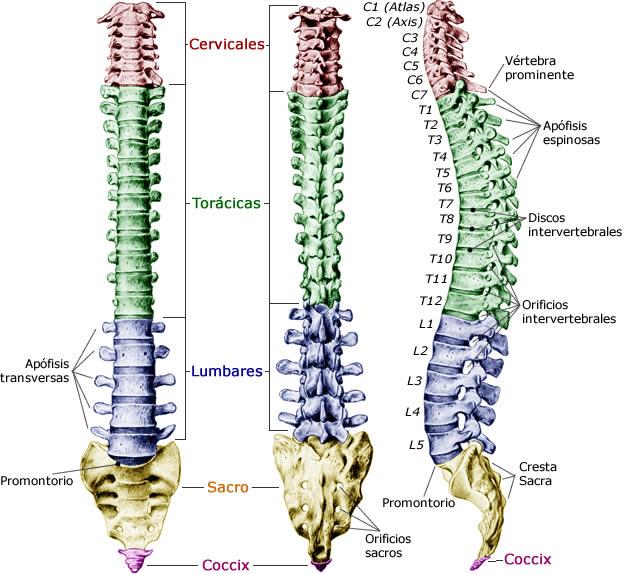 División de las vértebras de la columna